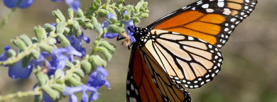 Why Are Monarch Butterflies Disappearing