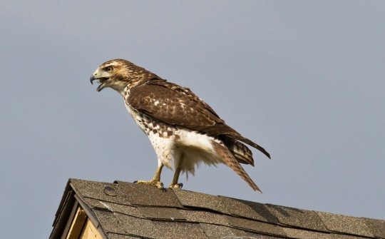 Red Tailed Hawk Hunting